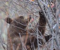 Бурый медведь Jackson Hole Стоковая Фотография RF