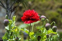 Бутанский красный цветок опиумного мака с капсулой, Бутаном стоковые фото