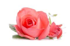 2 бутона розы пинка Стоковое Изображение