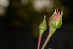 2 бутона роз Стоковые Изображения