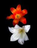 2 бутона тюльпана на черной предпосылке Стоковое Фото