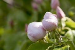 2 бутона цветка айвы Стоковая Фотография
