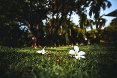 2 бутона цветка wite на траве Стоковые Фото