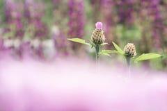 2 бутона cornflower на предпосылке кровати цветков с запачканным передним планом розового цвета стоковые изображения rf