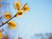 Бутоны весны молодые цвести против голубого неба стоковая фотография rf