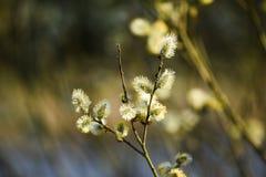 Бутоны весны на деревьях Бутоны весны на деревьях стоковые фотографии rf