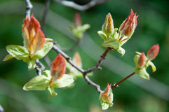 Бутоны весны Стоковые Изображения RF