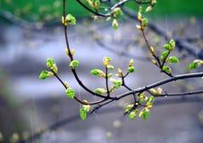 Бутоны весны Стоковые Фотографии RF
