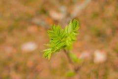 бутоны ветвей предпосылки сперва gentle изолированная белизна весны макроса листьев весна природы состава бутона Состав природы Стоковые Изображения RF