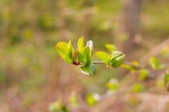 бутоны ветвей предпосылки сперва gentle изолированная белизна весны макроса листьев Первый бутон на ветви весной, первые лист Вес Стоковое Изображение RF