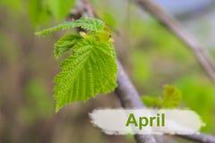 бутоны ветвей предпосылки сперва gentle изолированная белизна весны макроса листьев Стоковое фото RF