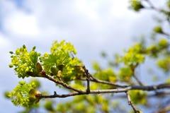 Бутоны ветви весны Стоковое Фото