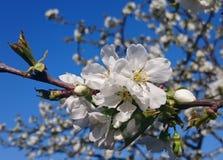 Бутоны вишни Стоковая Фотография RF
