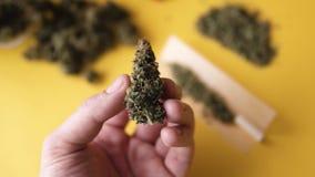 Бутоны в руке в замедленном движении, заводы конопли растительности марихуаны, видеоматериал
