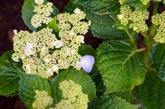 Бутоны гортензии Hortensia Стоковое фото RF