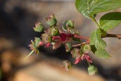 Бутоны голубики, после цветков падали Стоковая Фотография RF