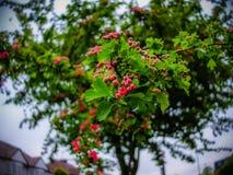 Бутоны дерева Стоковая Фотография RF