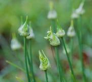 Бутоны зеленых луков Стоковые Изображения RF