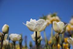 Бутоны и зацветая тюльпаны в Springtimeธ стоковое изображение