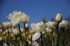 Бутоны и зацветая тюльпаны с солнечным в Springtimeธ стоковые изображения