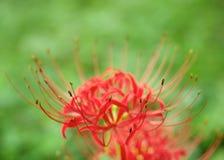 Бутоны лилии красного паука Стоковое Изображение RF