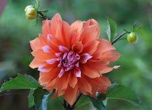 Бутоны и цветене георгина Стоковое Изображение RF