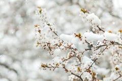 Бутоны и цветки весны предусматриванные в снеге Стоковые Изображения RF
