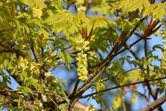 Бутоны кленового листа весны Стоковые Фотографии RF