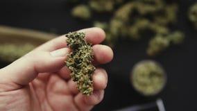 Бутоны конопли в руке в замедленном движении, пеньке CBD, зеленом цвете предпосылки, заводах растительности марихуаны, сток-видео