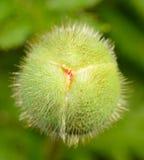 Бутоны мака Стоковая Фотография RF