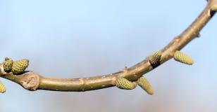 Бутоны на ветви грецкого ореха Стоковое Изображение