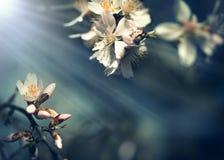 Бутоны на ветви фруктового дерев дерева осветили лучами солнца - зацветая фруктовым дерев деревом Стоковая Фотография