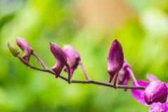 Бутоны орхидеи Стоковые Изображения