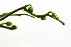 Бутоны орхидеи Стоковые Фотографии RF