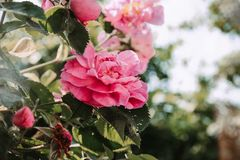 Бутоны розовых роз в солнце стоковые изображения rf
