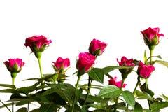 Бутоны розовых роз на белой предпосылке Стоковые Изображения RF