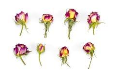Бутоны роз, красных и желтых цветка, ветви на белой предпосылке Стоковое Фото