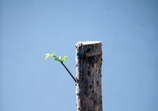 Бутоны ростка от мертвых деревьев стоковая фотография rf
