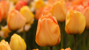 Бутоны тюльпана сток-видео