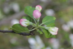 Бутоны цветения Яблока стоковые изображения rf