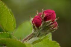 Бутоны цветения Apple Стоковые Фото