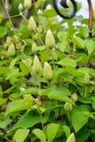 Бутоны цветка белого сада clematis весной Буш whit Стоковое Изображение RF