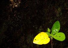 Бутоны цветка гибискусов Розы-sinensis с темной зеленовато-черной мшистой минималистской предпосылкой стены стоковые изображения