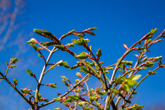Бутоны цветка дерева весны Стоковое Фото