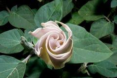 Бутоны цветка трубы Стоковое Изображение RF
