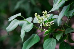 Бутоны цветков сирени весны белых Природа и свой шарм стоковые фото