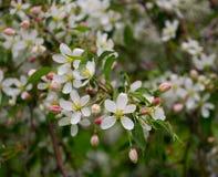 Бутоны Яблока и зацветая цветки яблока Стоковые Фото