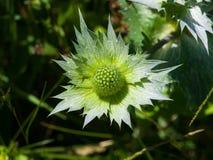 Бутоны amethyst цветка конец-вверх падуба или Eryngo моря, селективный фокус, отмелый DOF Стоковая Фотография RF