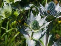 Бутоны amethyst цветка конец-вверх падуба или Eryngo моря, селективный фокус, отмелый DOF Стоковые Фото