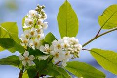 Бутоны blossoming белой вишни птицы против голубого неба весной Стоковое Фото